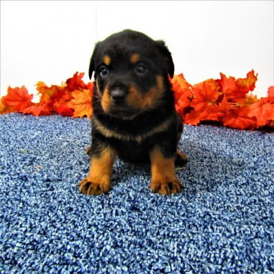 Bess - female AKC Rottweiler for sale at New Haven, Indiana