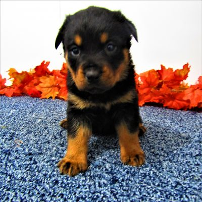 Bess - pup AKC Rottweiler for sale in New Haven, Indiana