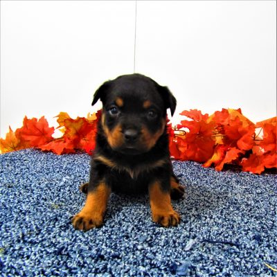 Sally - pupper AKC Rottweiler for sale in New Haven, Indiana