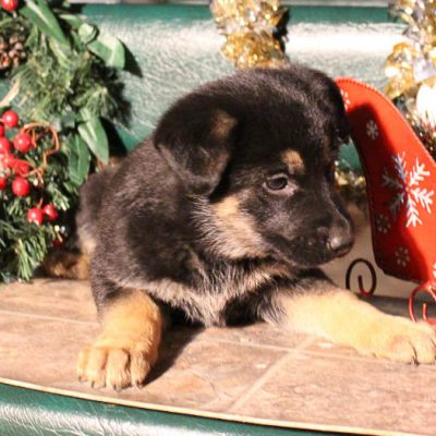 Rover - AKC German Shepherd pup for sale in Grabill, Indiana
