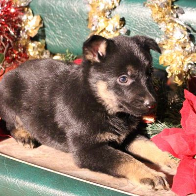 Skye - AKC puppy of German Shepherd for sale at Grabill, Indiana