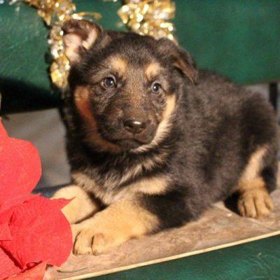 Ada - AKC German Shepherd pup for sale near Grabill, Indiana