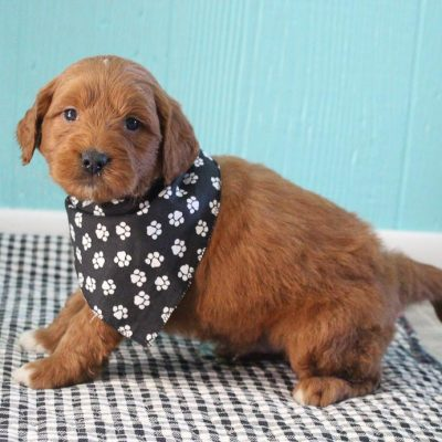 SOLD - AKC Goldendoodle male pup for sale at Shipshewana, Indiana