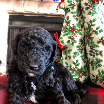Snickers - Standard Goldendoodle male black puppy