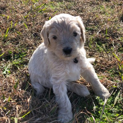 Bambi - Standard Goldendoodle male cream puppy