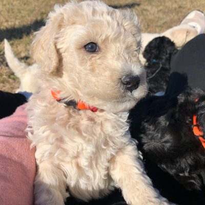 Teddy - Standard Goldendoodle male cream puppy