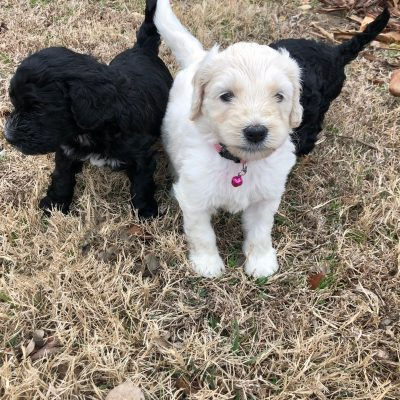 Clarice - Standard Goldendoodle female cream puppy