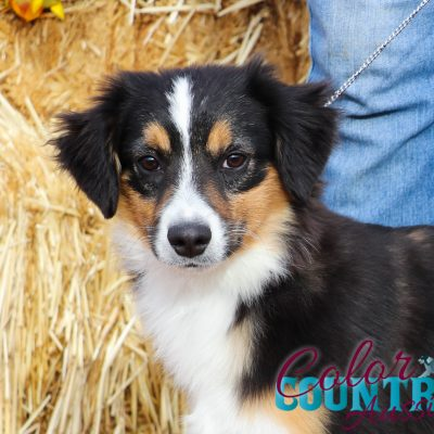 Lula Black Tri - ASDR Mini Australian Shepherd pupper for sale near Alamagordo, New Mexixo