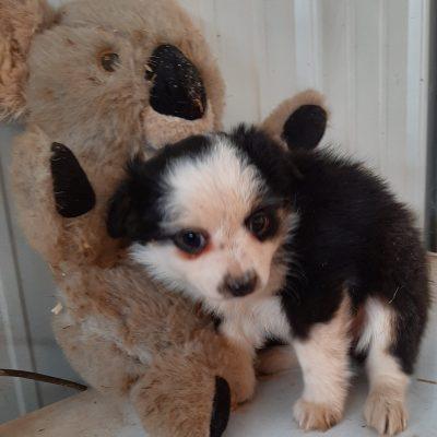 Cleo - ASDA Toy Aussie pup for sale at Mason City, Nebraska