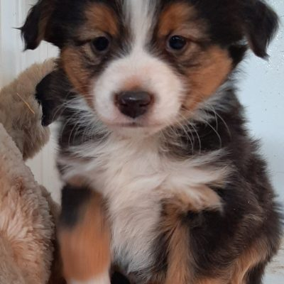George - ASDA Toy Aussie puppy for sale in Mason City, Nebraska