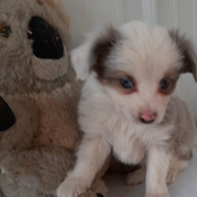 Herman - male ASDA Toy Aussie pupper for sale at Mason City, Nebraska