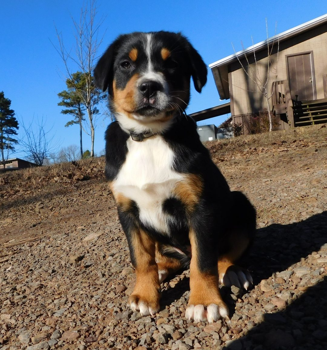 Rose Akc Greater Swiss Mountain Puppy For Sale In Clinton Arkansas