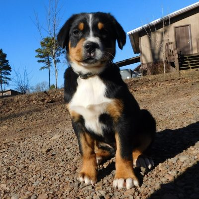 Rose - AKC Greater Swiss Mountain puppy for sale in Clinton, Arkansas