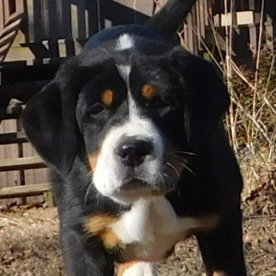 Sweetie - female AKC Greater Swiss Mountain pup for sale at Clinton, Arkansas