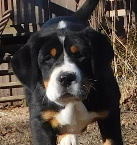 Sweetie Female Akc Greater Swiss Mountain Pup For Sale At Clinton Arkansas