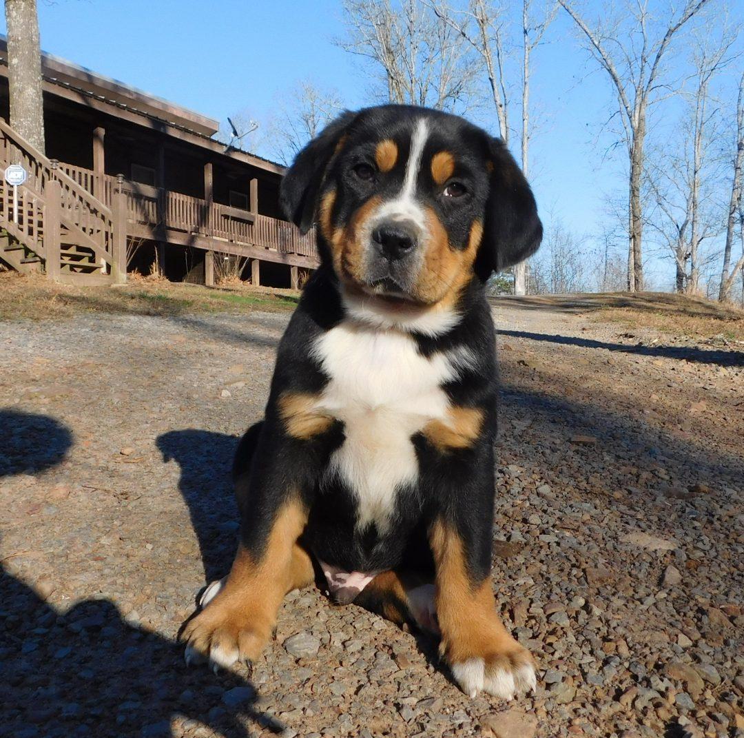 Teddy - AKC Greater Swiss Mountain puppy for sale near Clinton, Arkansas