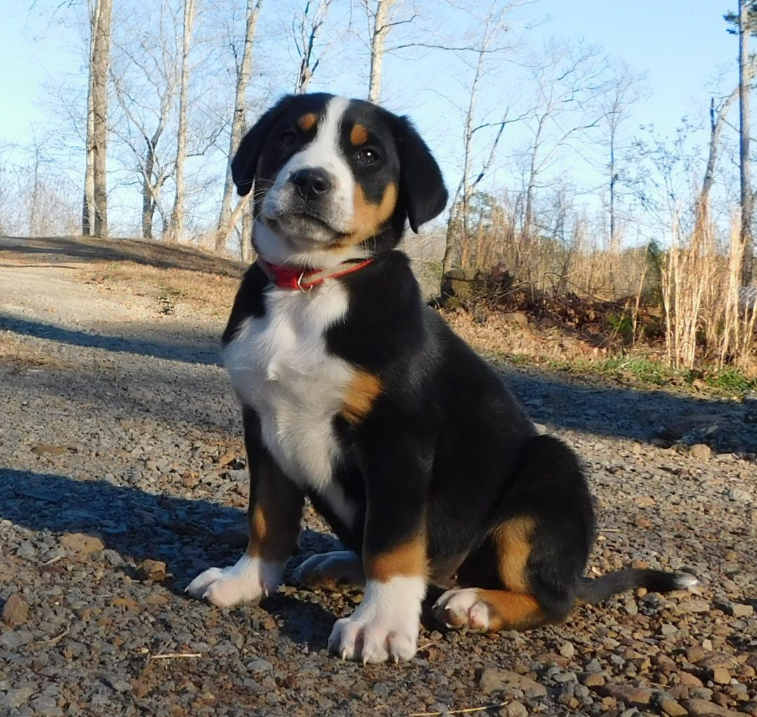 Princess Akc Greater Swiss Mountain Female Doggie For Sale In Clinton Arkansas