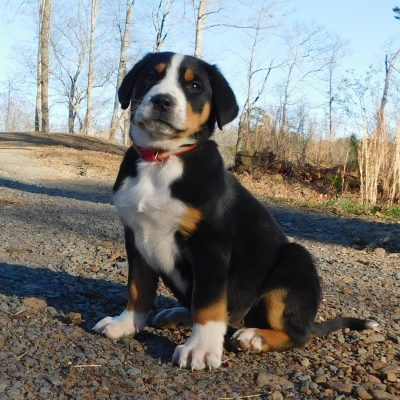 Princess - AKC Greater Swiss Mountain female doggie for sale in Clinton, Arkansas