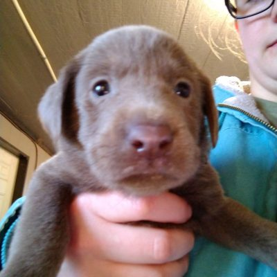 Black collar - female AKC Labrador Retriever puppy for sale in Montgomery, Indiana