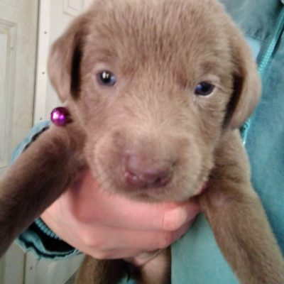 Purple collar - AKC Labrador Retriever pup for sale in Montgomery, Indiana