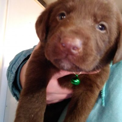 Green collar - pup AKC Labrador Retriever for sale near Montgomery, Indiana