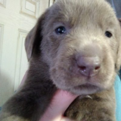 Yellow collar - male AKC Labrador Retriever puppy for sale near Montgomery, Indiana