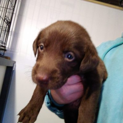 Pink collar - AKC Labrador Retriever puper for sale at Montgomery, Indiana