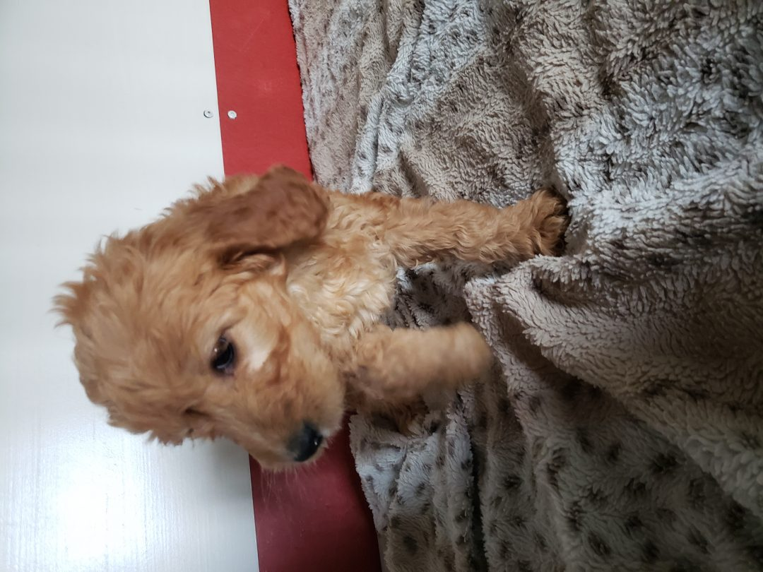 Kate - female Goldendoodle pupper for sale in New Haven