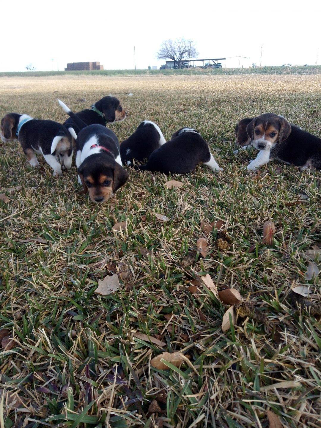 Bexar -AKC Beagle pup for sale in La Pryor, Texas