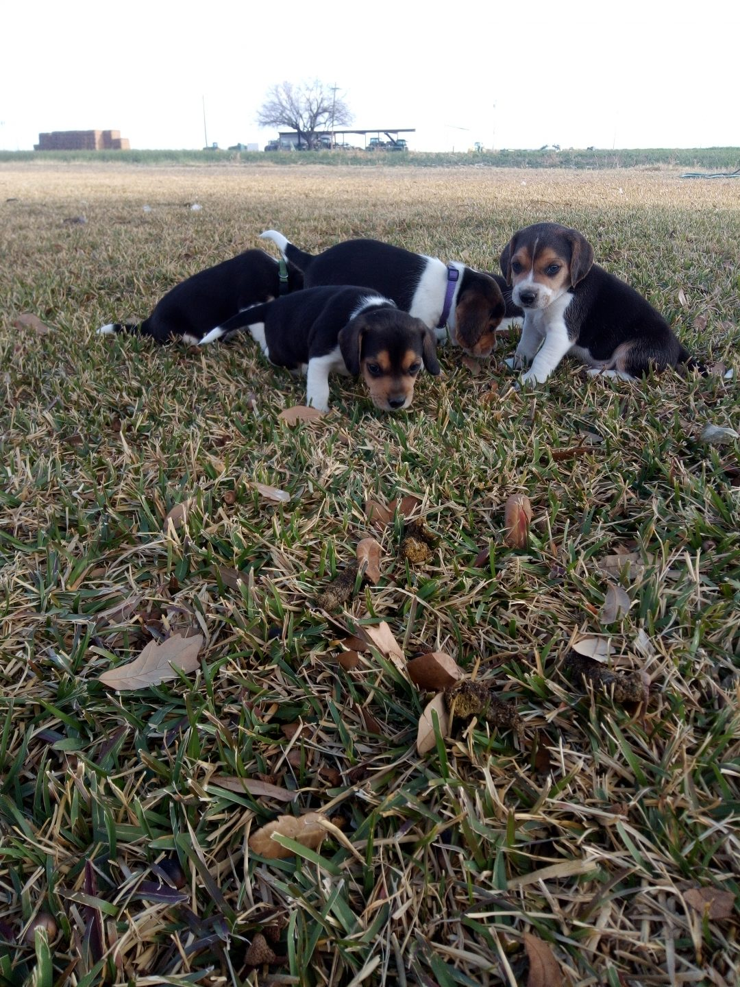 Beau - AKC Beagle pupper for sale near La Pryor, Texas