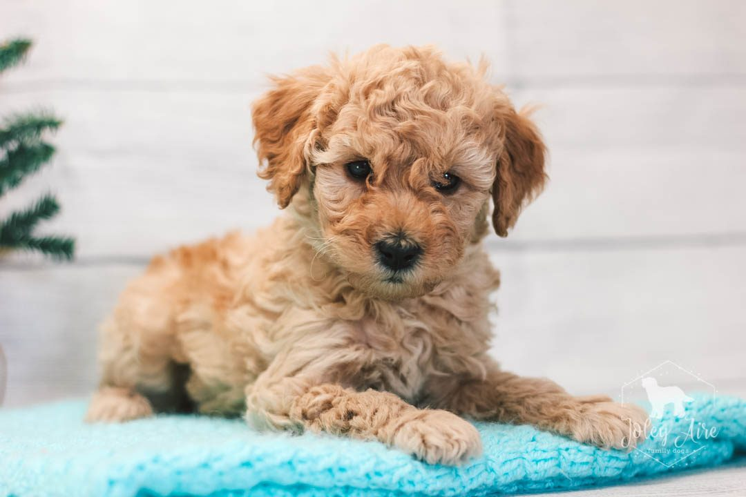 Clark Mini Goldendoodle Pupper For Sale At Illinois Vip