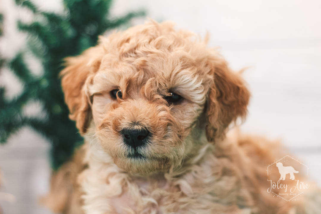 Clark Mini Goldendoodle Pupper For Sale At Illinois Vip Puppies