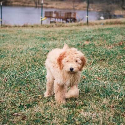 Radar - Medium Goldendoodle pupper for sale in Carlock, Illinois
