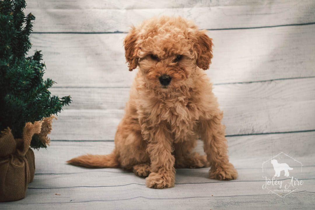 Clark Mini Goldendoodle Pupper For Sale At Illinois Vip