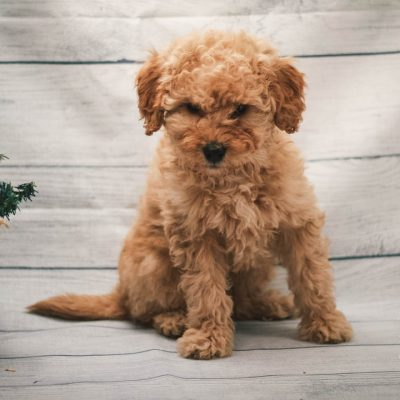 Clark - Mini Goldendoodle pupper for sale at Illinois