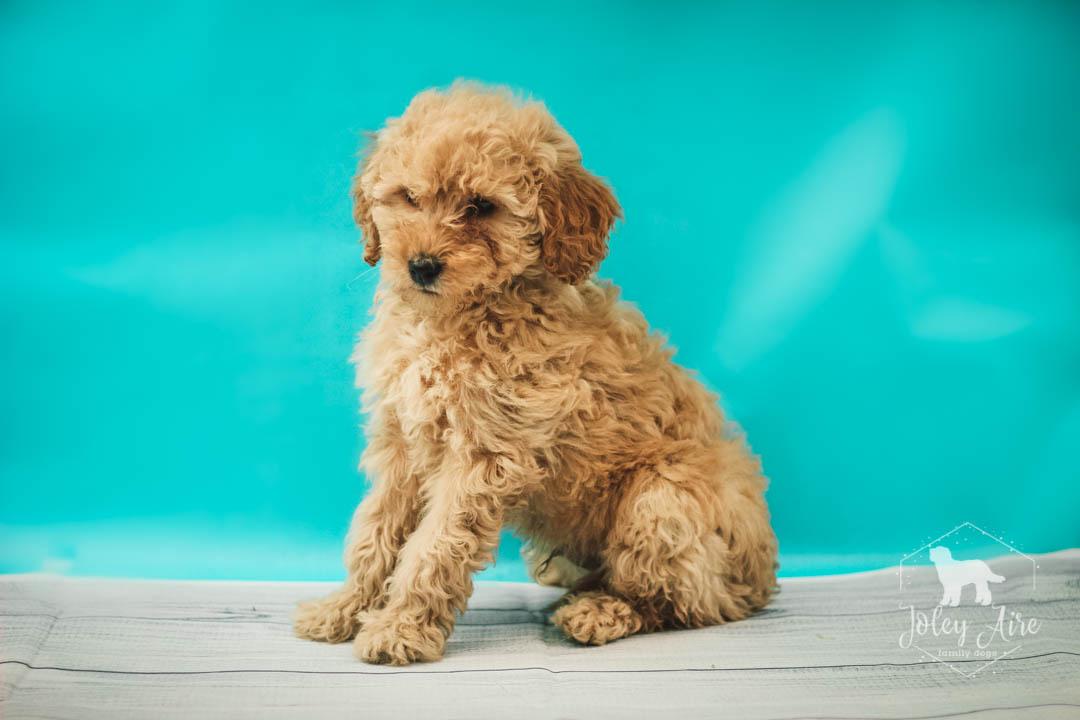 Clark Mini Goldendoodle Pupper For Sale At Illinois Vip Puppies