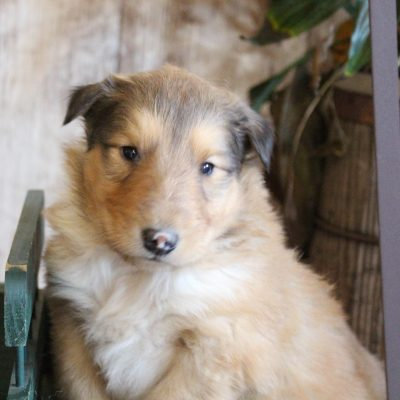 Morgan - Collie pupper for sale in New Haven, Indiana