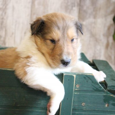 Mitch - male Collie pup for sale at New Haven, Indiana