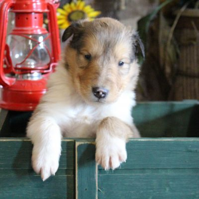 Mason - Collie doggie for sale in New Haven, Indiana