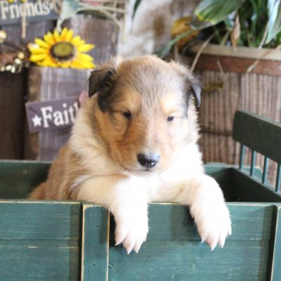 Madison - male Collie puppy for sale in New Haven, Indiana