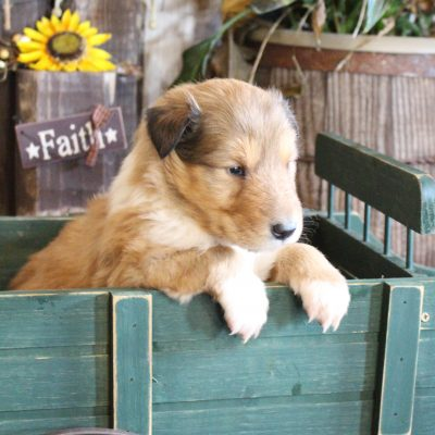 Makaya - Collie female puppy for sale in New Haven, Indiana