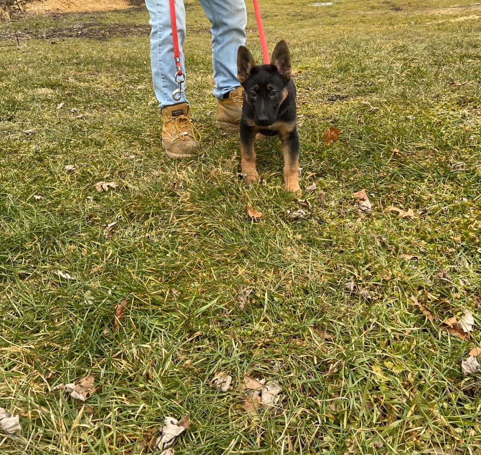 German Shepherd pupper for sale in Hudson Valley, New York