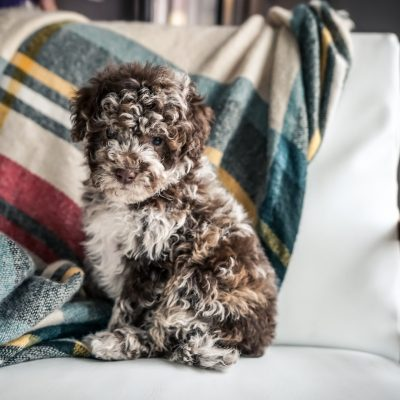 Blaine - Mini Portidoodle pupper for sale at Sugarcreek, Ohio