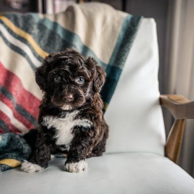 Boone - male Mini Portidoodle pup for sale near Sugarcreek, Ohio