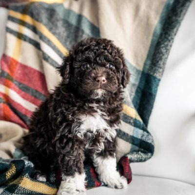Boots - Mini Portidoodle male puppy for sale in Sugarcreek, Ohio