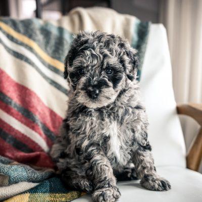 Baker! - Mini Portidoodle doggie for sale in Sugarcreek, Ohio
