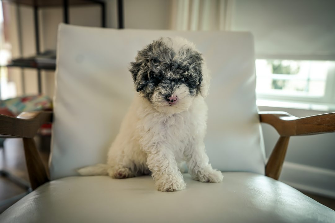 Bella Female Mini Sheepadoodle For Sale In Sugarcreek Ohio