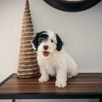 Charlie! - Male Mini Sheepadoodle puppy for sale at Sugarcreek, Ohio