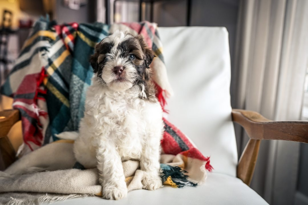 (SOLD) Hemi!!- Mini Portidoodle male puppy for sale in Sugarcreek, Ohio