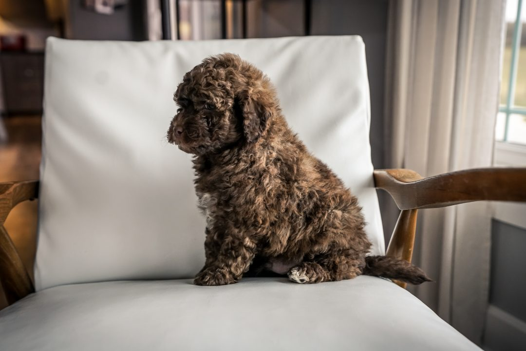 SOLD Hershey! - Male Mini Portidoodle for sale near Sugarcreek, Ohio